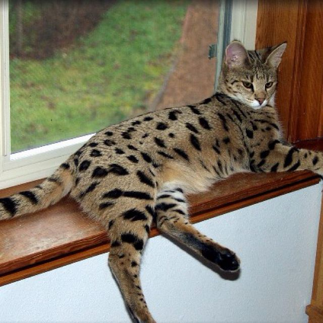 54 best images about large cats on Pinterest | Large, Pound for ...
