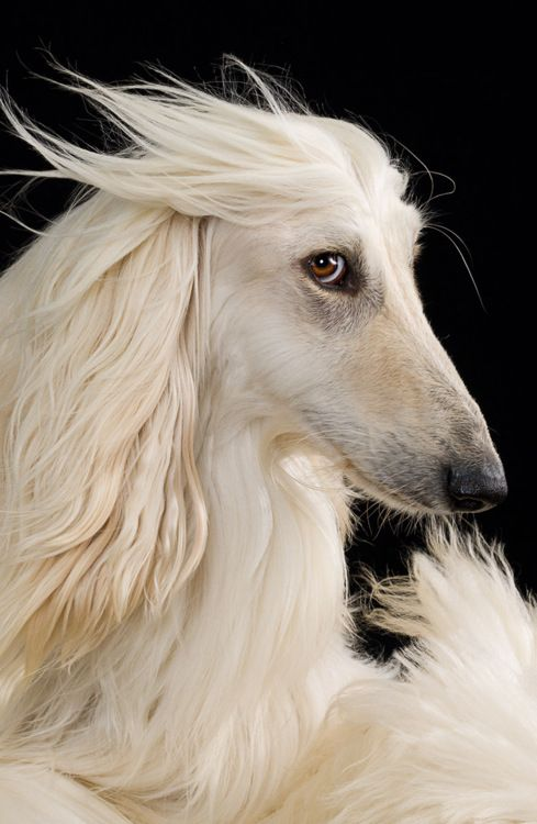 Afghan Hound I'm totally getting one when I retire so I will have the time to keep up with her coat!!!                                                                                                                                                     Más