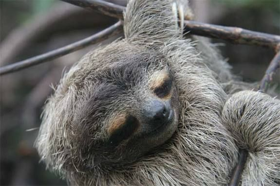 Three-toed sloths descend from the trees once a week to defecate, providing a breeding ground for moths that live in the animals' fur and nourishing gardens of algae that supplement the sloths' diet, new research finds. - Credit: Bryson Voirin