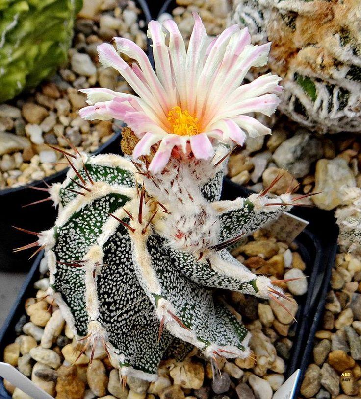 Astrophytum cv. Haku Jo