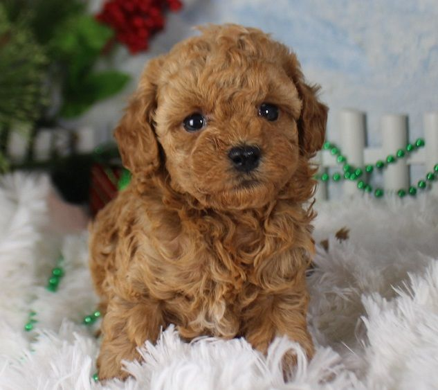 Empire Puppies Long Island