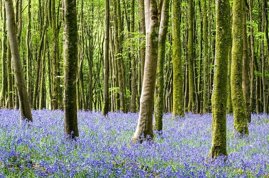bluebell wood england | Captured Beauty / Bluebell Woods Dorset England