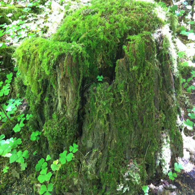 Moss covered tree stump seen while hiking near Cave Junction, Oregon. July 2012.
