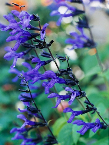 Black and Blue Salvia is a HUMMINGBIRD MAGNET. It displays spikes of rich cobalt-blue flowers that emerge from purple-black buds on dark stems. This salvia is quite easy to grow in a sunny spot with moist, well-drained soil and blooms from midsummer to fall.