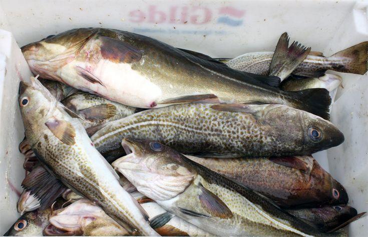 Según los resultados de la investigación QualiFish llevada a cabo por el grupo SINTEF y el Instituto Noruego de Nutrición e Investigación de Productos del Mar, el pescado congelado puede ser tan bueno como el fresco e incluso mejor, siempre que el proceso de congelación  y descongelación se realicen siguiendo unos parámetros concretos.
