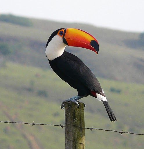 Toco toucan (photo by Ann Strahan)