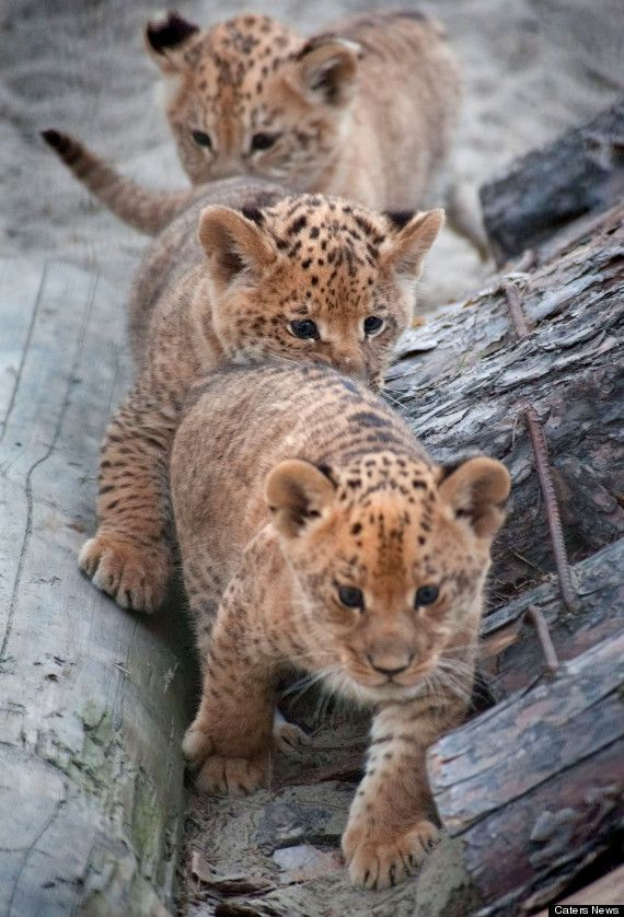 Liliger cubs