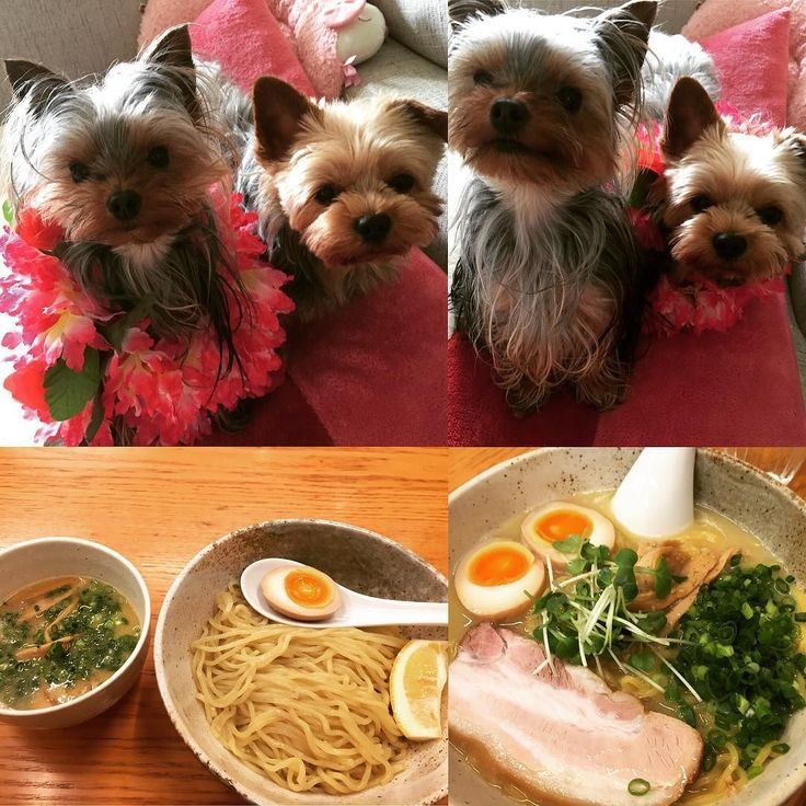 最近週一でラーメンたべてる ここのラーメン人気店 つけ麺大好き  #ヨークシャテリア  #yorkshireterrier  #ヨーキー  #犬  #けせらせら by rumirururu.515