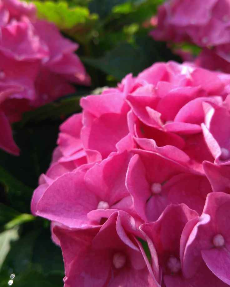 Der Sommer hat so tolle Farben 🌸 .  #hortensie #blüten #hortensienblüte #blütenknospen #naturpur