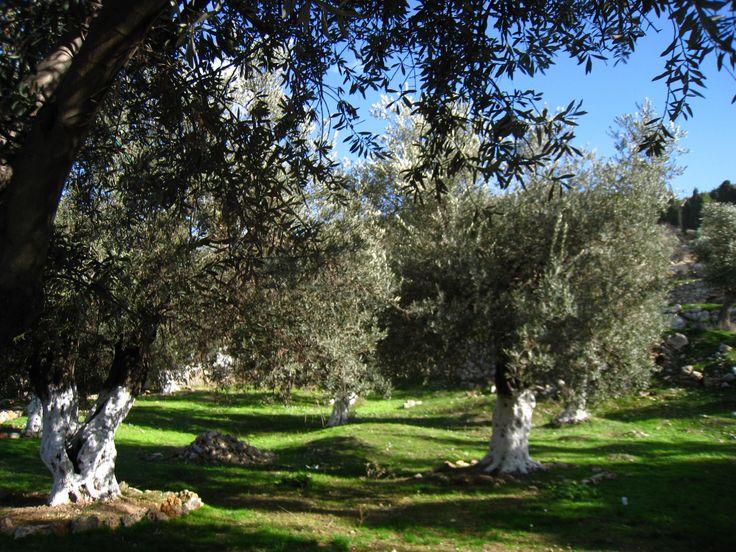 La Primavera è alle porte... Maestosi alberi di olivo nel Giardino di Getsemani #oltreogniaspettativa #Gerusalemme #green