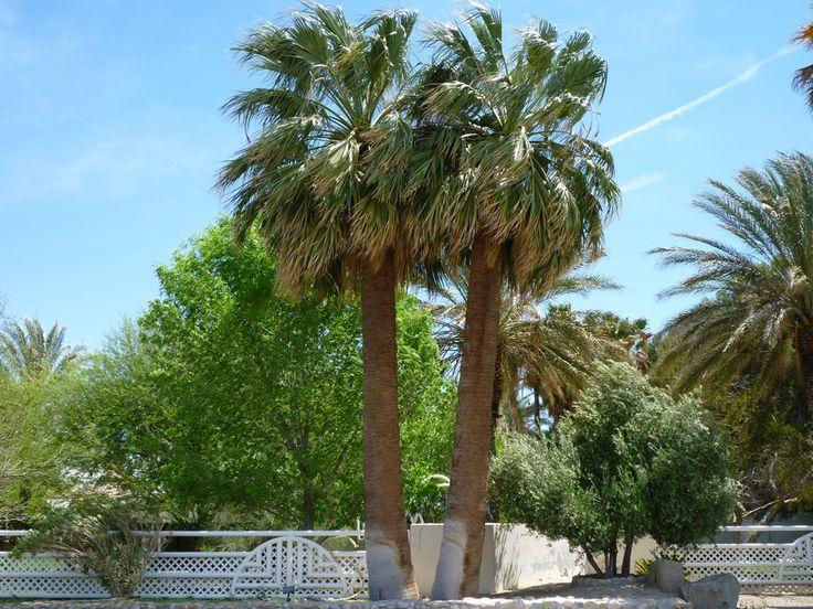 Washingtonia Falifera (California Palm Tree)