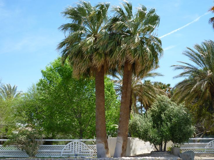 california palm trees vs florida palm trees | California Fan Palms are very similar to Mexican Fan Palms except they ...
