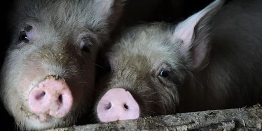 petition: Compassion for pigs shouldn't be a crime!