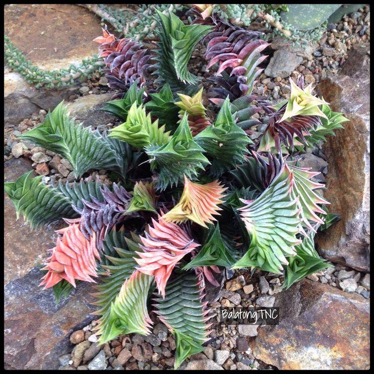 Haworthia viscosa at The Ruth Bancroft Garden