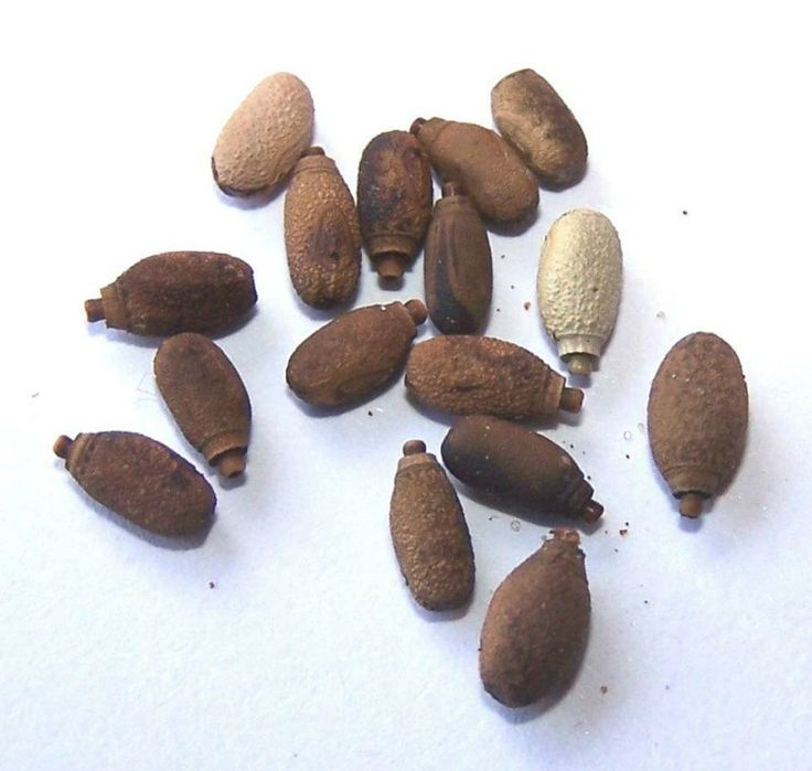 Ova (eggs) of Children's Leaf Insect Tropidoderus decipiens