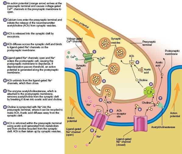 9.12 Function of the Neuromuscular Junction