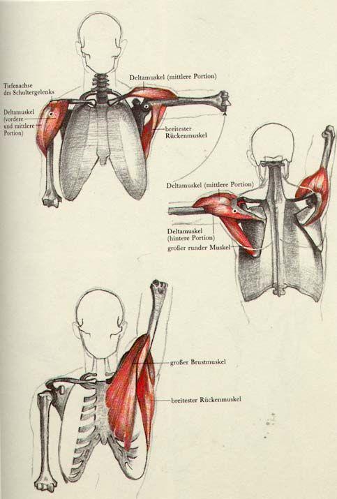 Músculos hombro
