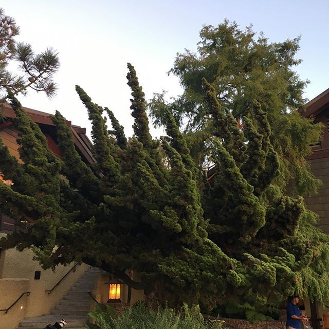 Torrey Pines Trees #tree #fingerstree #sandiego #lajolla #delmar #torreypinesgolfcourse #torreypines #torreypinestrees #torreypinessouthcourse #fun #funtimes #thismoment #lajollalocals #sandiegoconnection #sdlocals - posted by Bill Briggs  https://www.instagram.com/billbriggs. See more post on La Jolla at http://LaJollaLocals.com