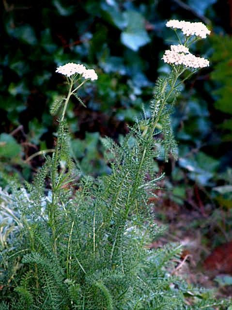 54 best images about herbier on pinterest taraxacum for 815 plante st jean