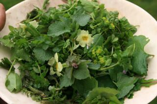 Chickweed Wood Bitter-cress Nettle (tops) Alternate leaved golden Saxifrage Wood Sorrel (small quantity) Ground ivy (very small quantity) Co...
