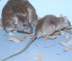 Roof rats secured their place in history by spreading the highly dangerous bubonic plague. Though transmission is rare today, there are still a handful of cases in the U.S. each year. Roof rats can also carry fleas and spread diseases such as typhus, jaundice, rat-bite fever, trichinosis and salmonellosis.