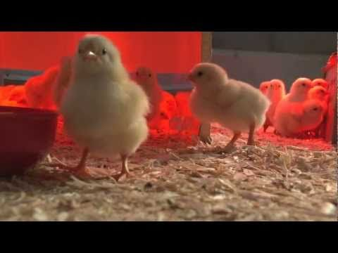 Video #1 of 3  University of Minnesota Extension educator Wayne Martin shows what you need to prepare for raising chickens: a clean space, heat lamps for warmth, bedding (wood shavings, peat moss, or rice hulls), starter feed, and plenty of clean water.
