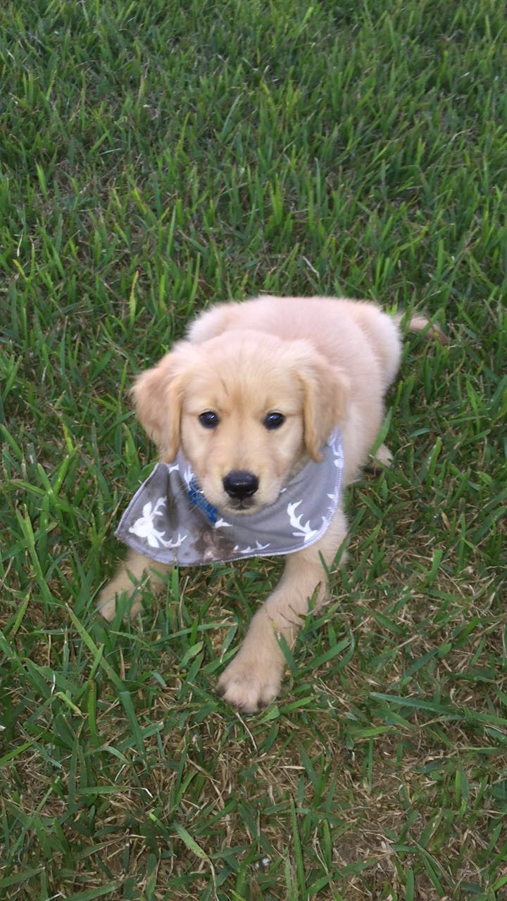 Golden Retriever Puppy Practicing A Down In The Grass Puppies