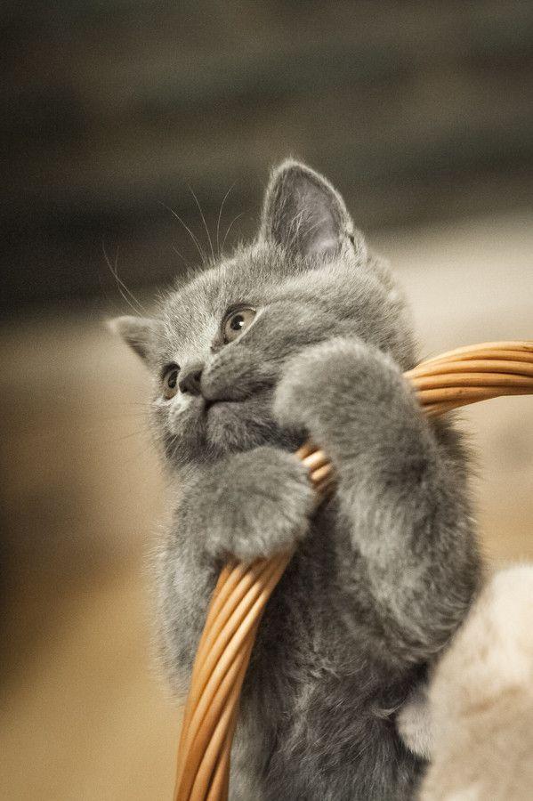 Risultati immagini per sweet blue russian kitten