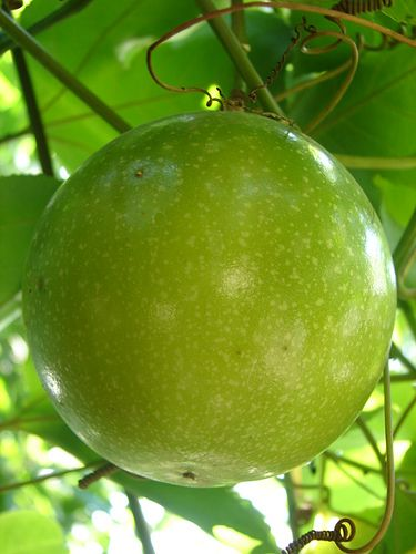 Passion Fruit / Colombian Fruit: Maracuya