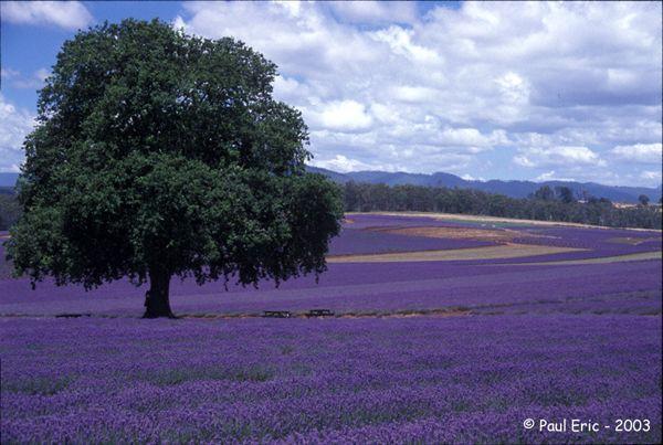 its purple lavendar: Favorite Places, Lavender Fields, Color, Beautiful, Purple Passion, Trees, Things, Flower, Lavendar Field