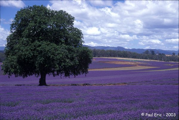 lavender fields; where I am calm