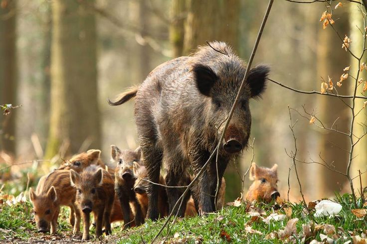sweet wild boar family
