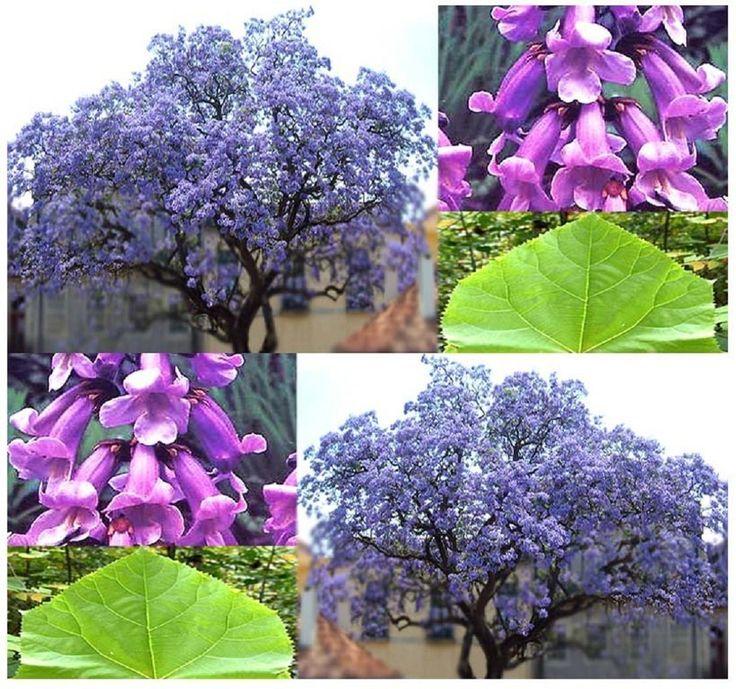 Paulownia tomentosa Blauglockenbaum 70 cm Höhe Enormer Wuchs bis 2 Meter pro Jahr Frosthart mit betörend duftenden Blüten: Amazon.de: Garten