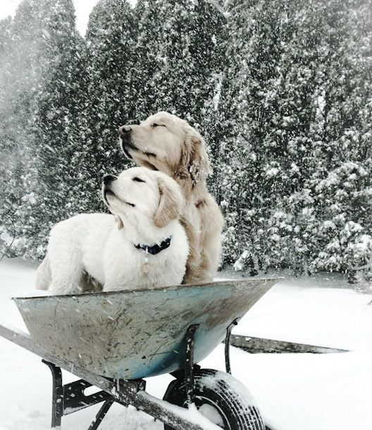 These dogs just love the snow - look at their sweet faces! #dogs #doglovers #winter