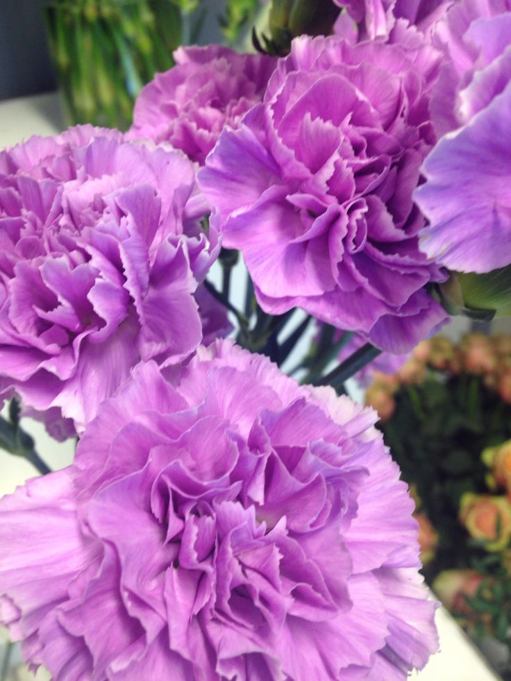 Lys lilla nellik - Dianthus