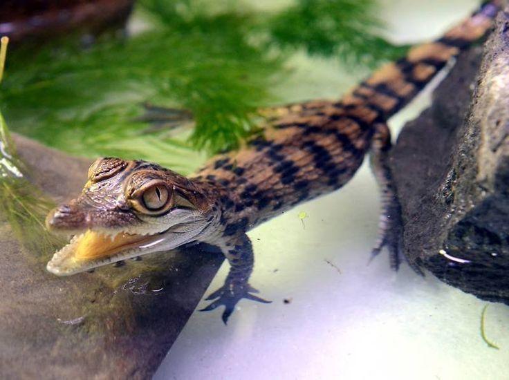krokodil baby