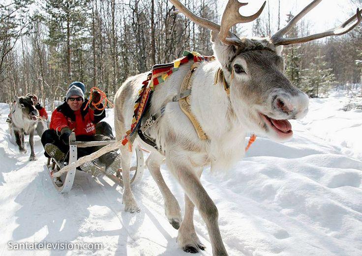 Экскурсии на оленеводческие фермы и катание на оленьих упряжках в Финской Лапландии