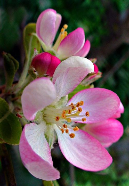 74 best Apple Blossoms images on Pinterest | Apple ...