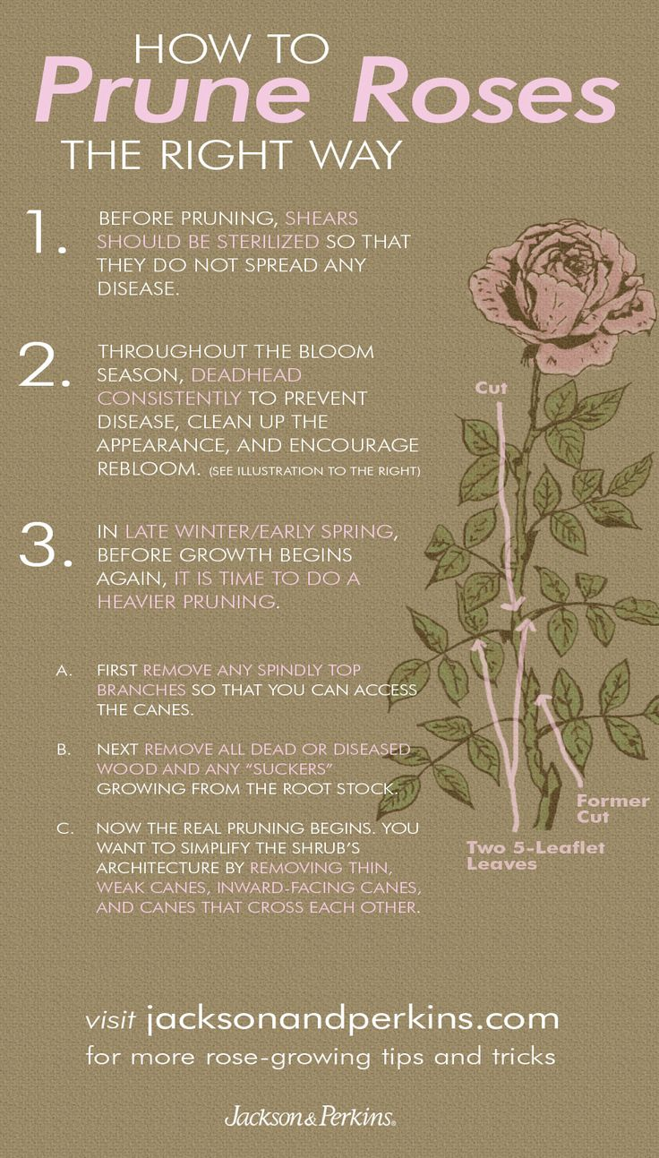 Lots of great info on how and when to prune your rose bushes.