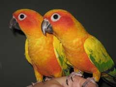 Conure Parrot For Sale - What To Watch Out For? - http://www.mypetarticles.com/conure-parrot-for-sale-what-to-watch-out-for/#more-197