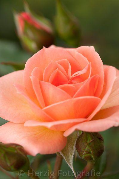 """Розовый """"Маленькая леди"""" - Rose"""