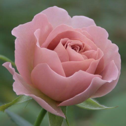 サウダージ|バラ(薔薇)|オキツローズナーセリー