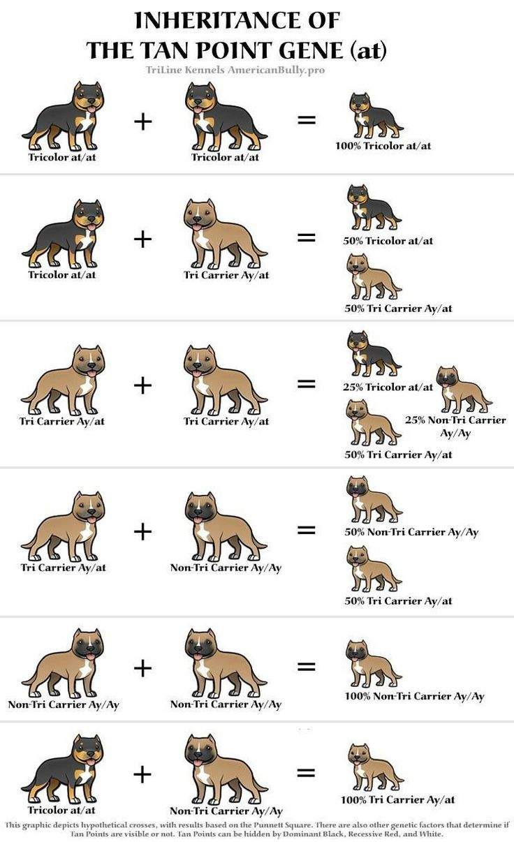 Cool Tri Color Breeding Chart Bully Breeds Dogs Bully