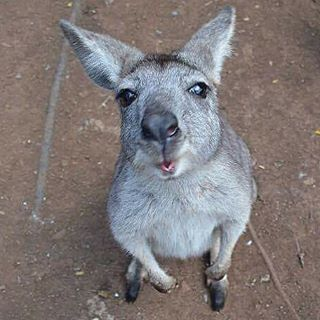 Check out Jazzy the Wallaroo trying to get a better view of the camera lens!  #visitcapricorn #southerngreatbarrierreef #cooberriepark #yeppoon #visityeppoon #rockhampton #discoverqueensland #visitrockhampton #wildlife #animals #nature #attraction #queensland #australia #tourismqueensland #visitqueensland #tourismaustralia #seeaustralia #thisisqueensland #ausbackpacking #thisiscq #weareexplorers