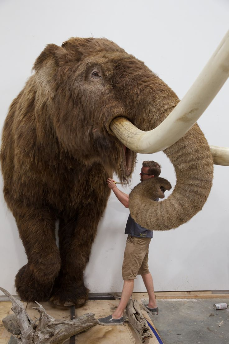 Replicated Extinct American Mastodon Mammut Americanum