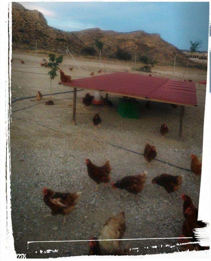 Apostamos por la calidad y libertad de nuestras gallinas.