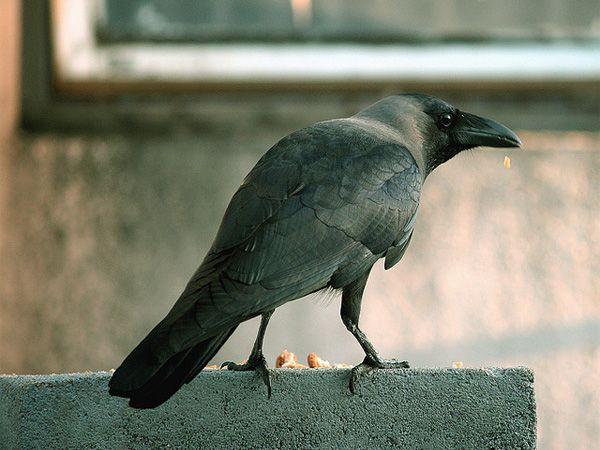Watch a wild crow tackle a complex eight-step puzzle via @CNET