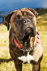 17 Best images about Bullmastiff on Pinterest | Best dogs ...
