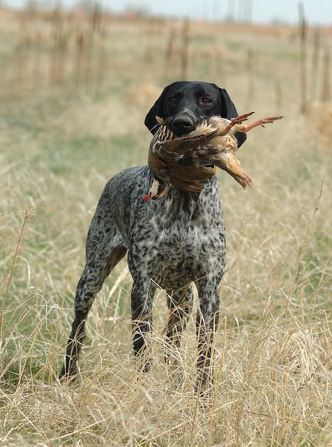 German Shorthair Pointer-Mine is all dark brown with white chest & legs, with some spots on legs.  His name is Augie & he's a handsome hunter.