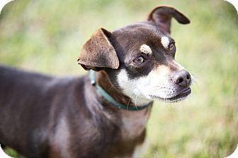 Baltimore, MD - Chihuahua/Miniature Pinscher Mix. Meet Herschel, a dog for adoption. http://www.adoptapet.com/pet/17106052-baltimore-maryland-chihuahua-mix